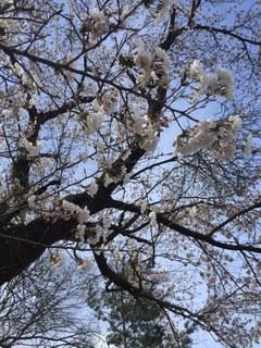 2桜.JPG