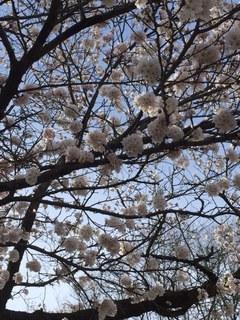 3桜.JPG